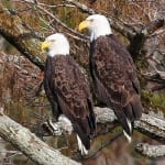 2 Eagles Photo by Randy Sander