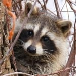 Racoon Photo by Randy Sander